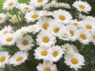 Argyranthemum-frutescens-aramis-white