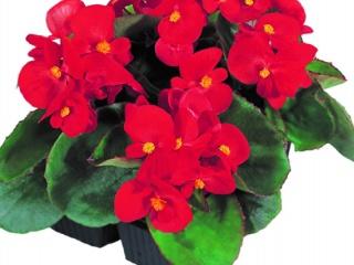 Begonia-semperflorens-Quick