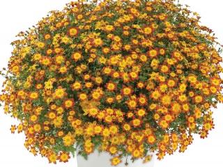 Bidens-ferulifolia-Beedance
