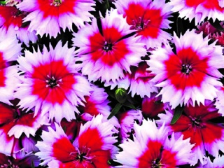 Dianthus-chinensis-Parfait