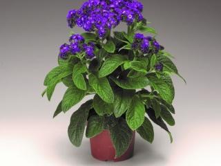 Heliotropium-arborescens