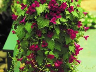 Lophospermum-erubescens-Lofos-Wine-Red