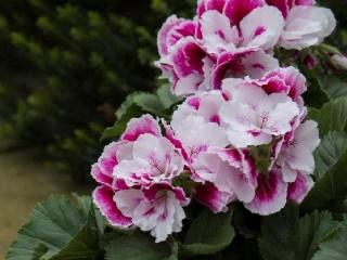 Pelargonium-grandiflorum