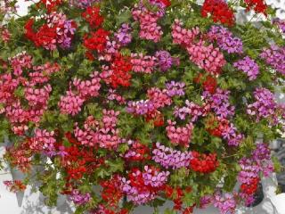 Pelargonium-peltatum-Balcon