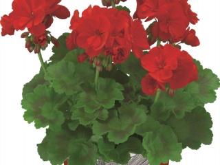 Pelargonium-zonale-staand