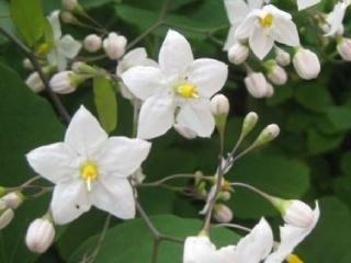 Solanum-jasminoides