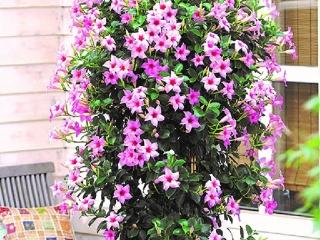 Sundaville-Cream-Pink
